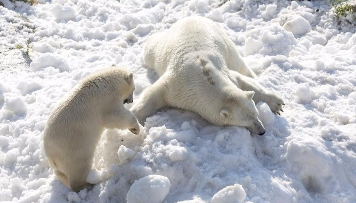 Summer Treat for Polar Bears