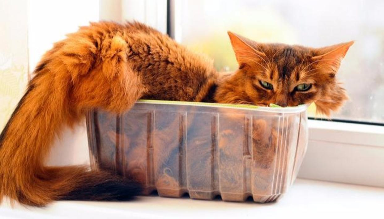ATTEMPTED MURDER SUSPECT: A CAT?