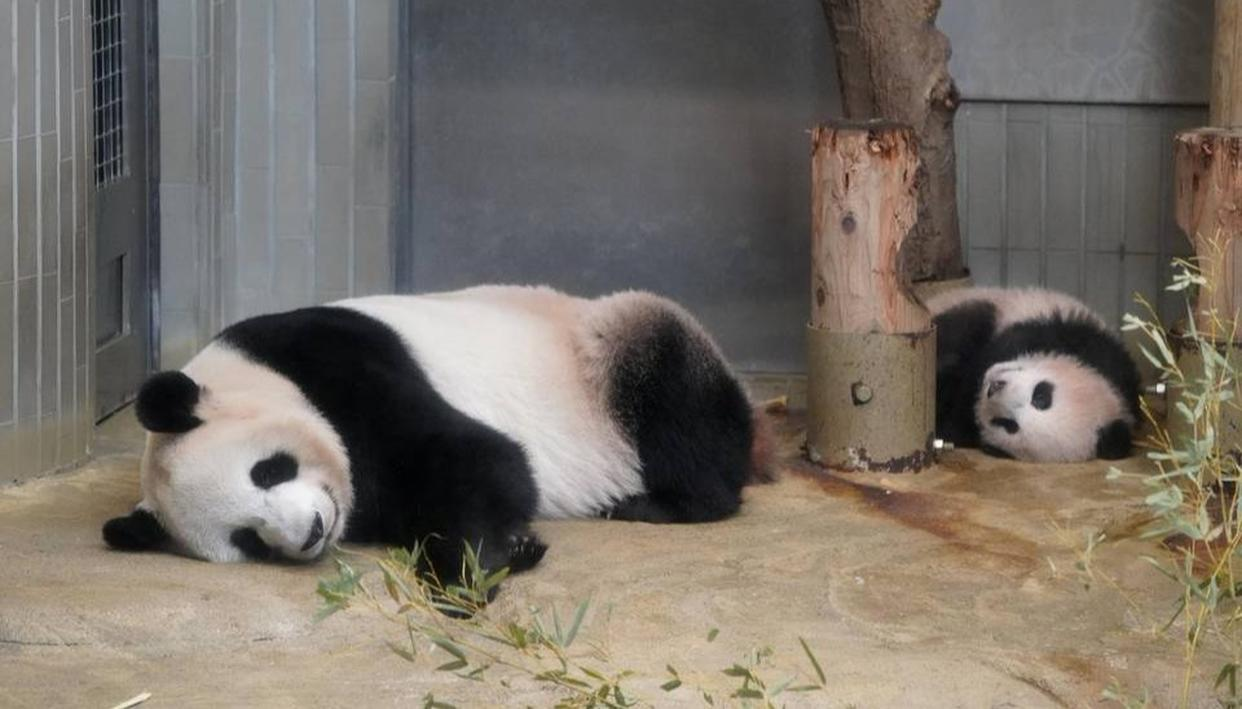 BABY PANDA'S DEBUT APPEARANCE