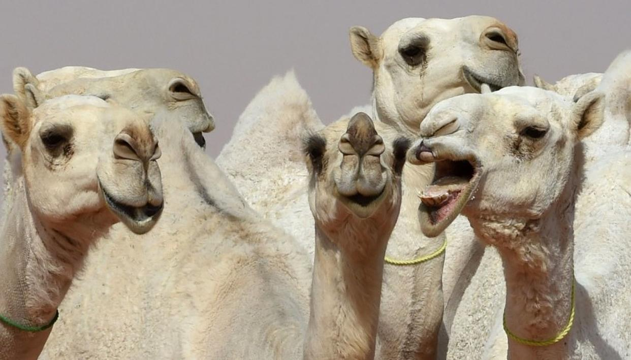 CAMELS DISQUALIFIED FROM BEAUTY PAGEANT
