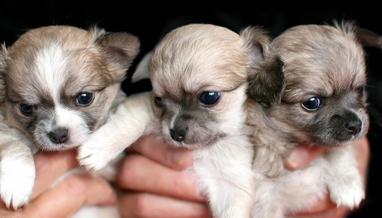 SALE OF PUPPIES TO BE BANNED?