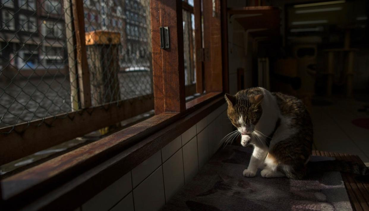 Borre, an 8-year-old cat cleans himself at the Catboat shelter in Amsterdam, Netherlands.
