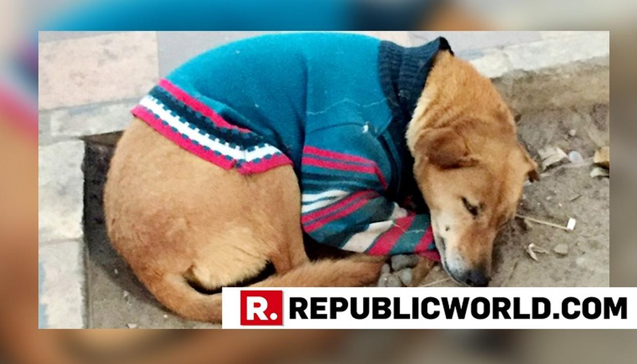 Delhi Dresses Up Street Dogs In Sweaters To Keep Them Warm In This