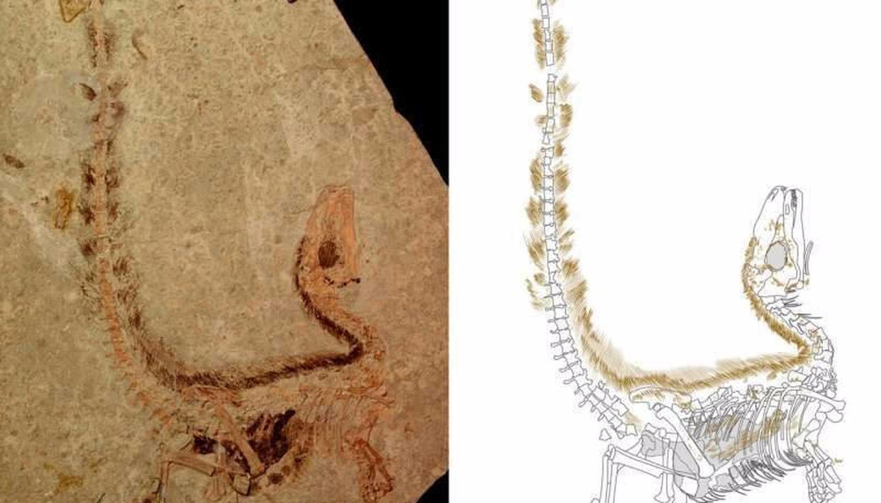 A feathered dinosaur that lived 130 million years ago