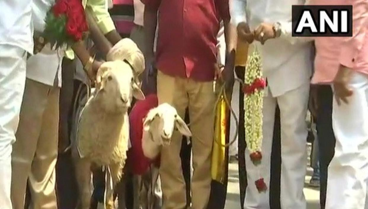 GOAT, SHEEP ARE A COUPLE NOW