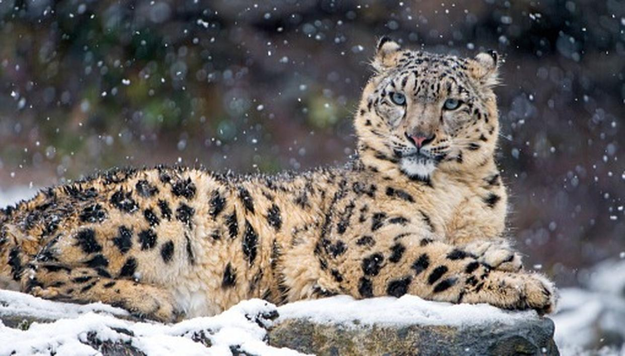 WHY SNOW LEOPARD POPULATION IS RISING IN HIMALAYAS