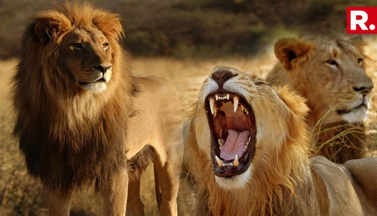 21 ASIATIC LIONS DEAD IN ONE MONTH IN GIR FOREST
