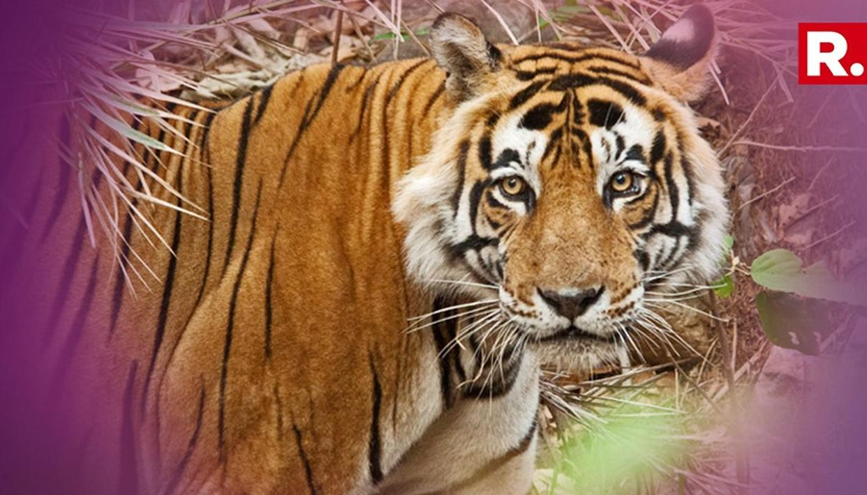 MAN EATER TIGRESS AVNI KILLED, WILDLIFE ACTIVISTS CALLED IT A MURDER