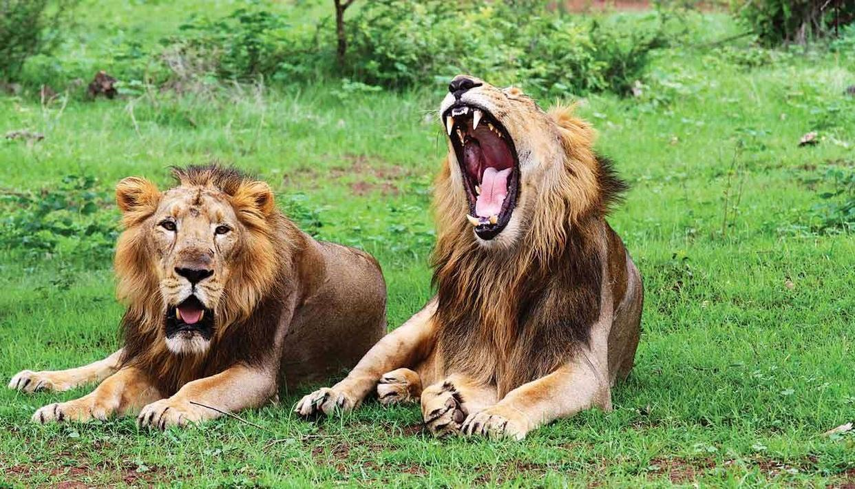 CENTRE ALLOCATES RS 59 CRORE FOR ASIATIC LION CONSERVATION IN GUJARAT'S GIR