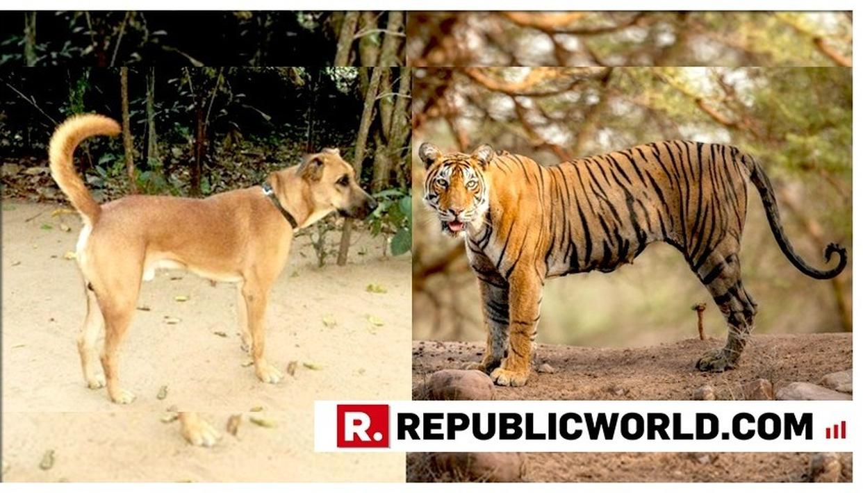 HERO PET: DOG FORCES TIGER TO RETREAT BY JUST BARKING, SAVES OWNER'S LIFE IN MADHYA PRADESH'S SEONI DISTRICT