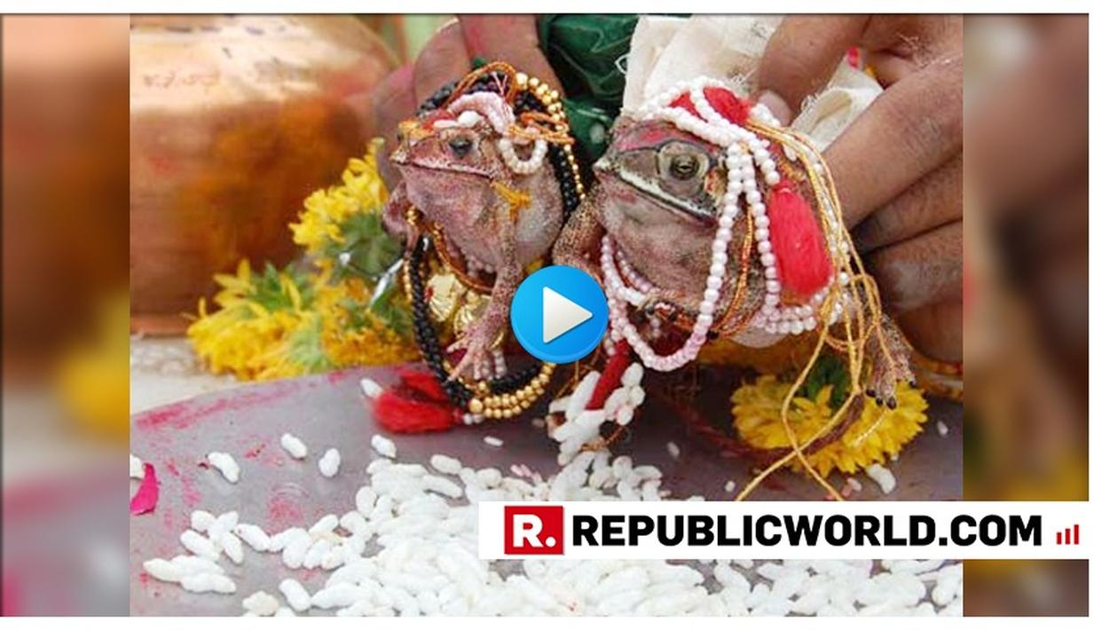 MONSOON WEDDING: TWO FROGS MARRIED IN KARNATAKA'S UDUPI TO 'PLEASE RAIN GODS', AS RAINS FINALLY HIT KERALA COMMENCING MONSOON IN INDIA