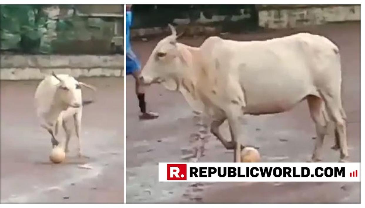 VIRAL: BULL PLAYING FOOTBALL IS 'FUNNIEST THING' BY HARSHA BHOGLE ON TWITTER. MUST WATCH