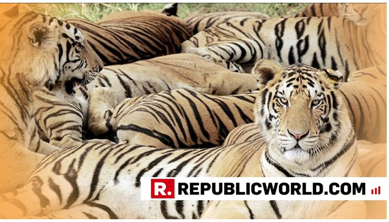 TIGRESS AND TWO CUBS FOUND DEAD IN MAHARASHTRA'S CHANDRAPUR DISTRICT