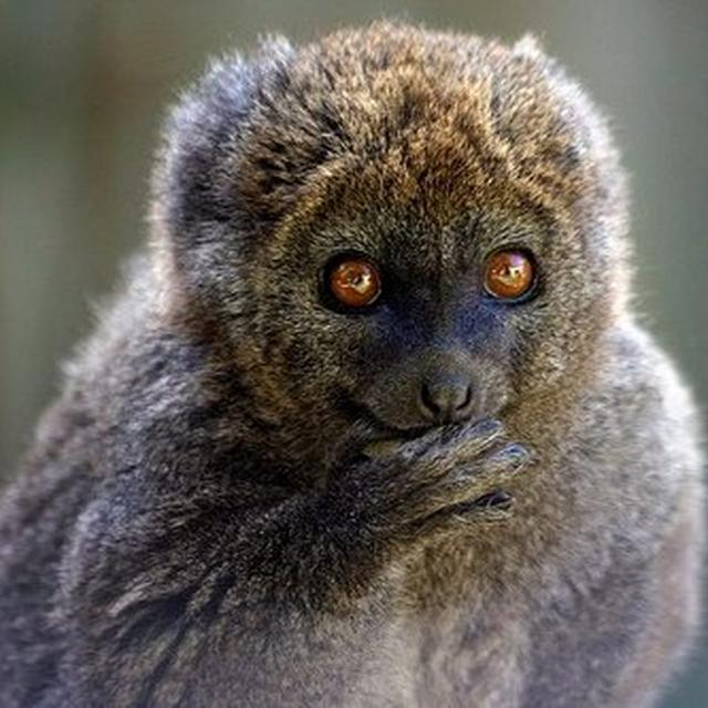 Climate change may slowly starve bamboo lemurs, saysstudy