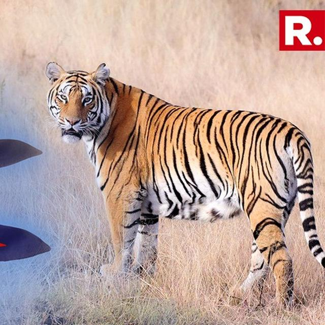 POPULATION OF TIGERS INCREASES IN NEPAL