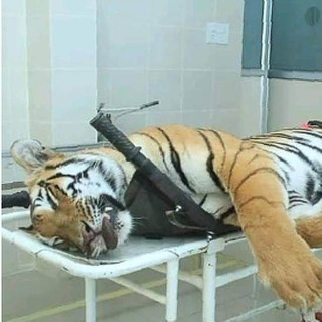 NECROPSY REPORT: TIGRESS AVNI HAD NOT EATEN FOR 4-5 DAYS