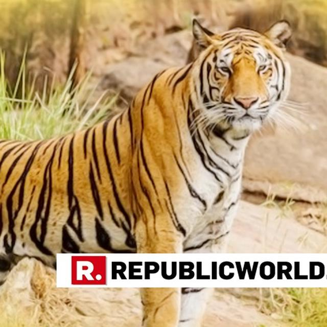384 TIGERS KILLED IN INDIA IN THE LAST 10 YEARS, REVEALS RTI
