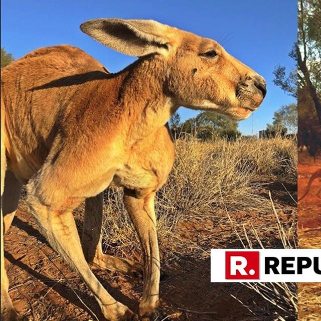 ROGER, THE MUSCULAR KANGAROO PASSES AWAY AT THE AGE OF 12