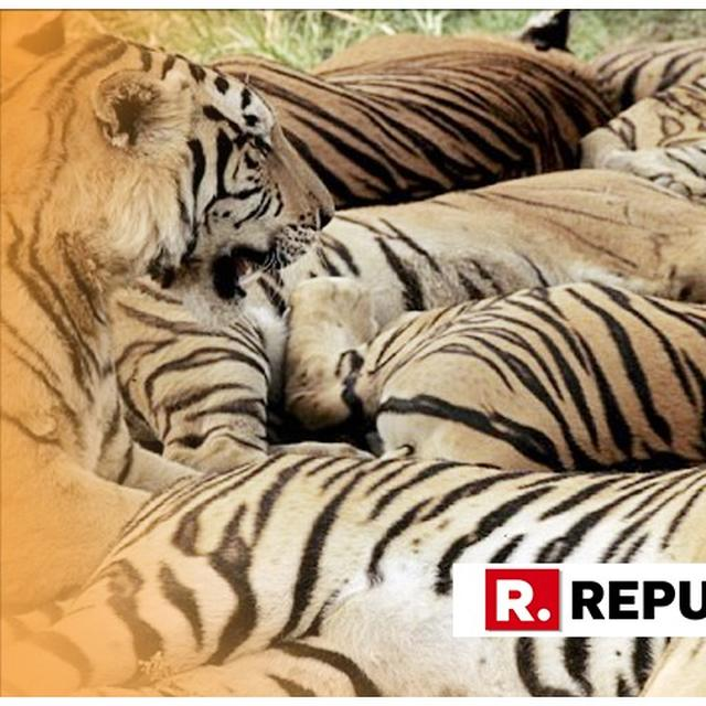 429 TIGERS KILLED BY POACHERS SINCE 2008, REVEALS RTI REPLY