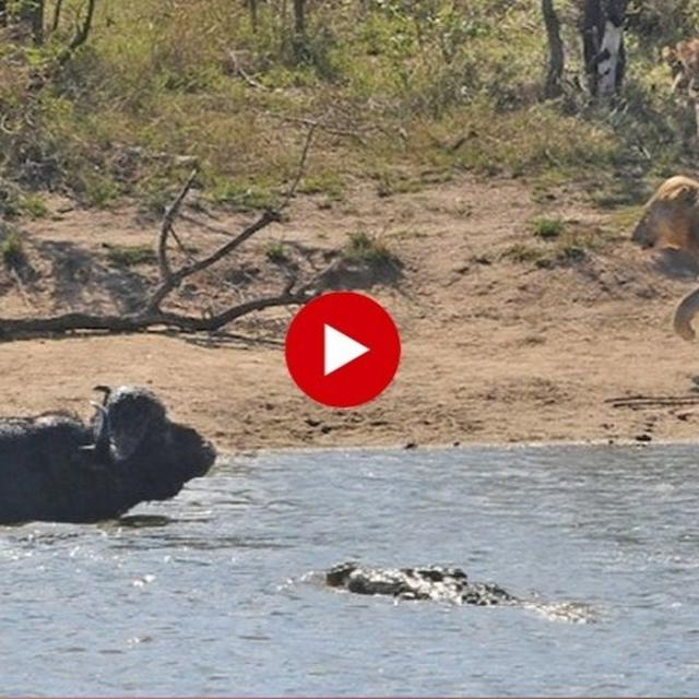 VIRAL: BUFFALO GETS STUCK IN A TWO-WAY BATTLE ON LAND AND WATER, FIGHTS LION AND CROCODILE