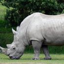 SNAKELIKE ROBOT MAY HELP SAVE WHITE RHINOS FROM EXTINCTION