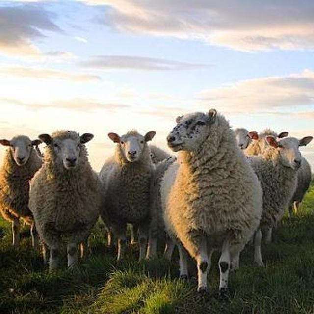 Here's why a French school enrolled 15 sheep after checking their birth certificates