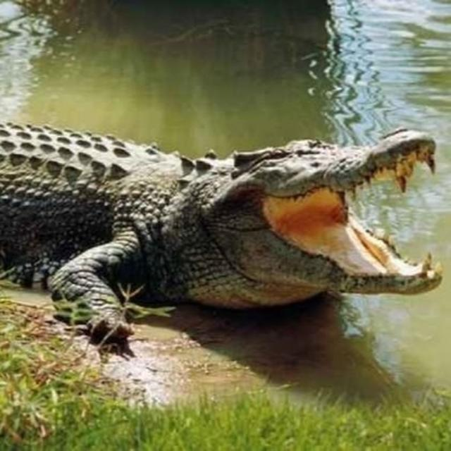 GUJ: BOY RESCUED FROM JAWS OF CROCODILE BY FRIENDS