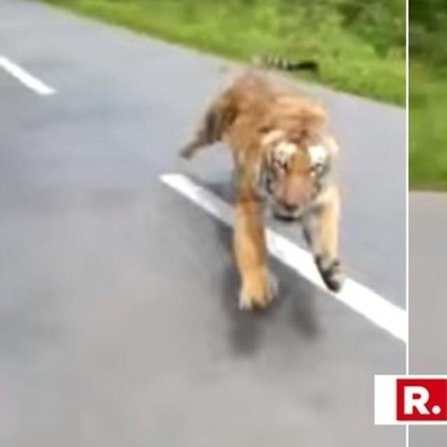 WATCH THIS: IN FRIGHTENING VIDEO, A TIGER APPEARS OUT OF NOWHERE TO CHASE BIKERS ON AN EMPTY FOREST ROAD