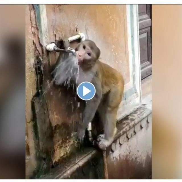 'JAI BAJRANG BALI!': THIS MONKEY CONSCIOUS ABOUT SAVING WATER HAS NETIZENS HAILING IT IN AMAZEMENT